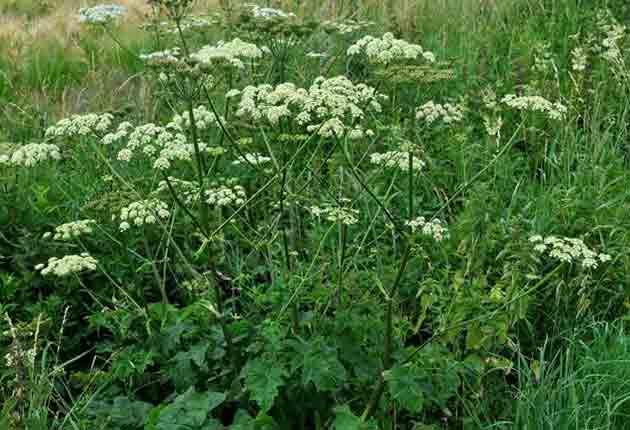 Лекарственное растение борщевик сибирский