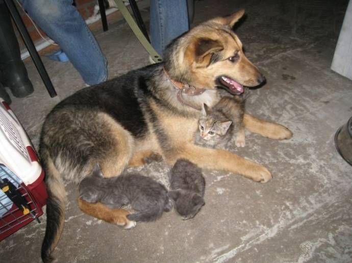 В Новосибирске бездомная собака взяла под опеку семерых котят бездомная собака, опека  котят