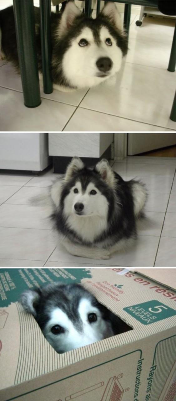 Хаски: собаки, которым весело!