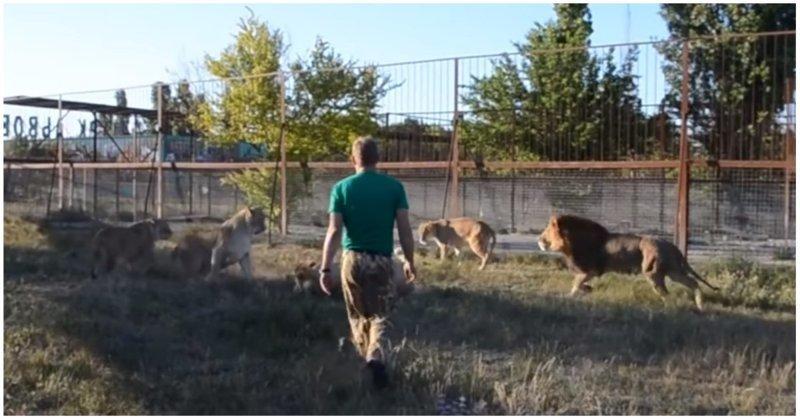 Как волшебный тапок Олега Зубкова спас молодую львицу