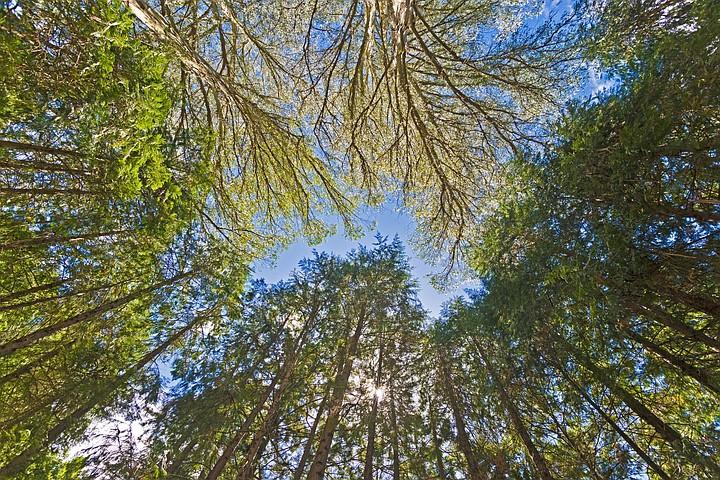 На Тасмании нашли самое высокое лиственное дерево