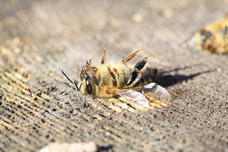 Без меда и фруктов: что произойдет, когда в 2035 году вымрут все пчелы