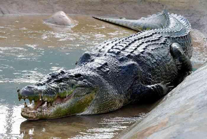 ТОП-10 самых больших крокодилов в мире