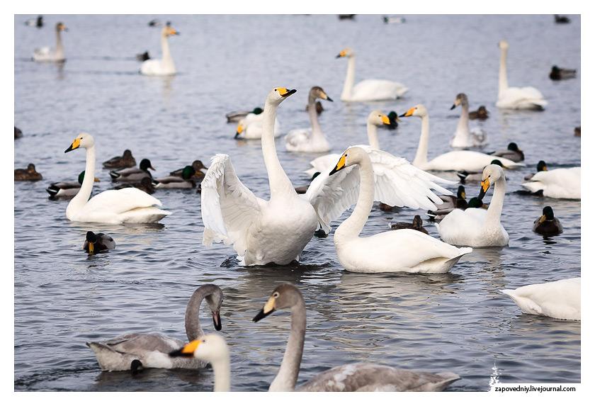 Белые птицы на озере Светлом