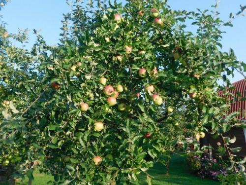 Календарь ухода за яблоней по месяцам.
