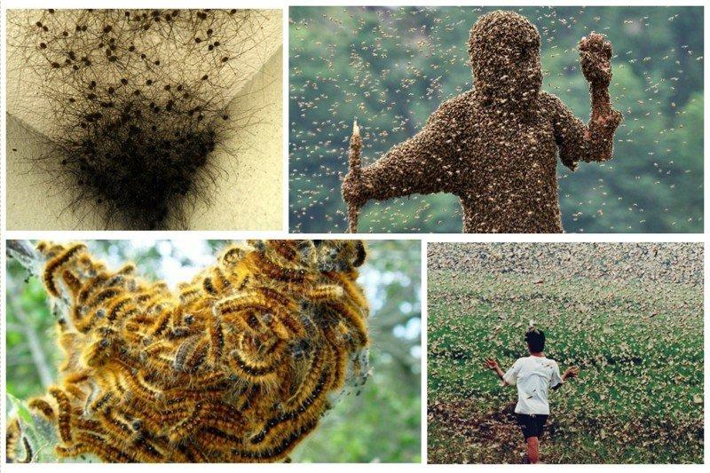 Да минет вас восьмая казнь египетская инсектофобия, интересное, много, насекомые, природа, рой, скопление