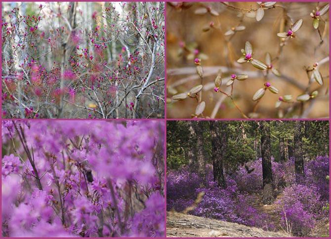 Цветение багульника - удивительное и чудесное зрелище