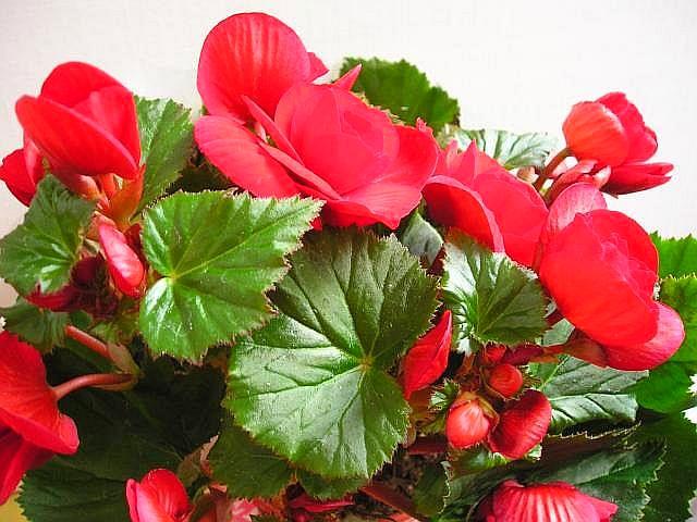 Бегония - цветок тенистой клумбы