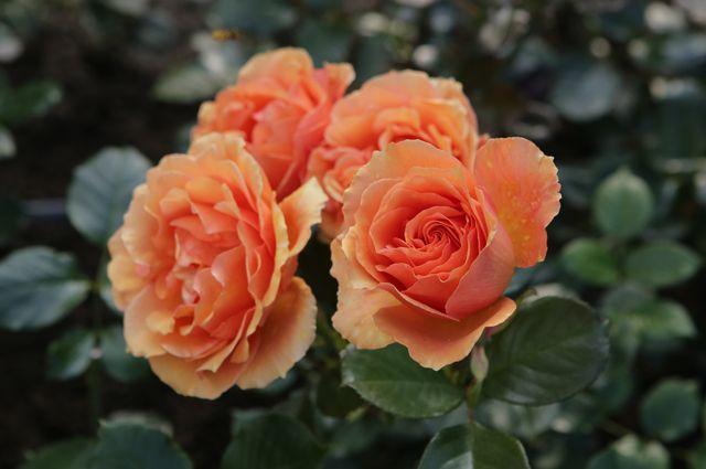 Розы и клематисы. Особенност…