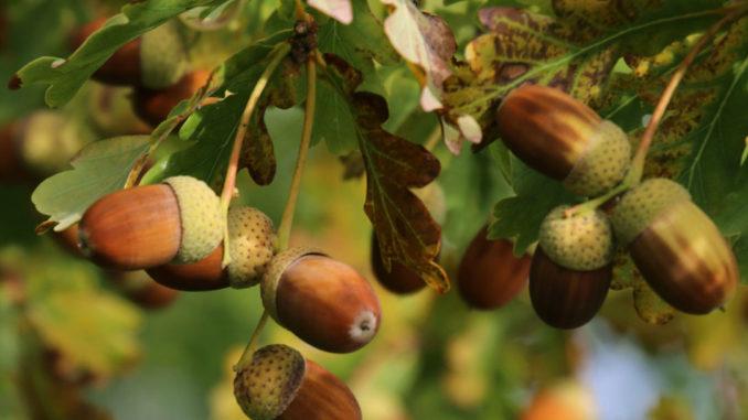 Желуди — целебные плоды дуба