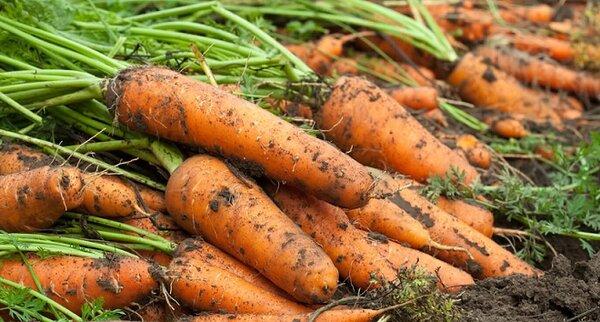 Чудо - подкормка, после которой морковь растет