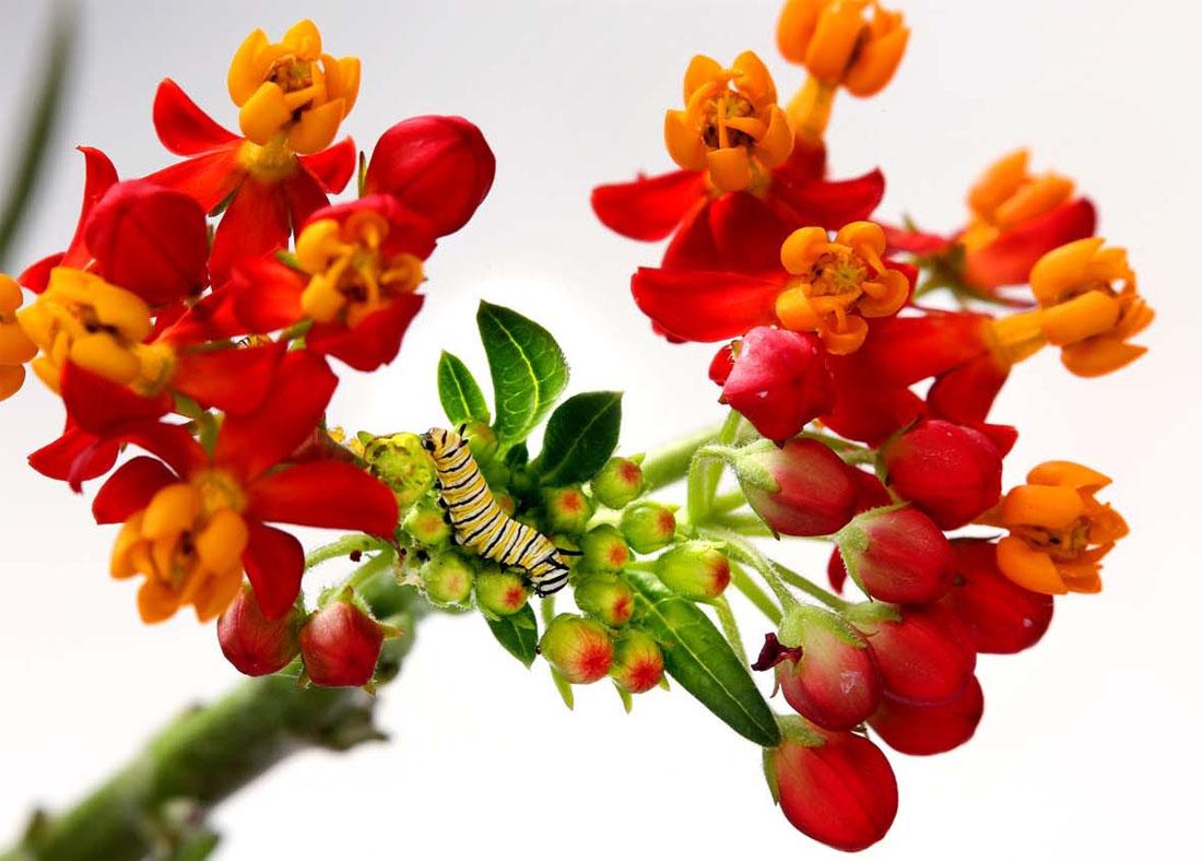 460 Метаморфозы и рождение бабочки монарха