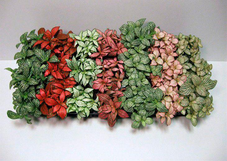 Фиттония: нюансы выращивания в домашних условиях