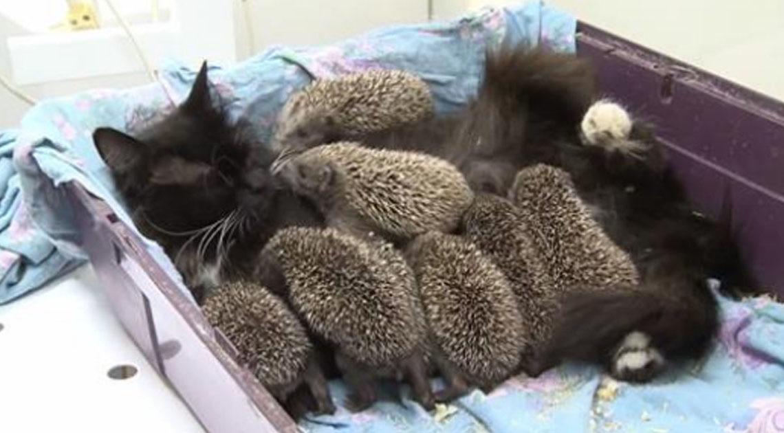 Кормящая кошка по прозвищу «Ёжкин кот»