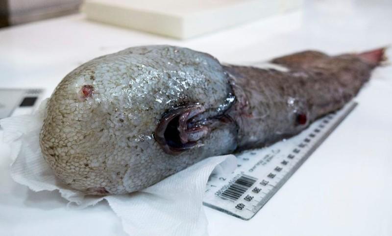 Около Австралии поймали считавшуюся вымершей рыбу без лица