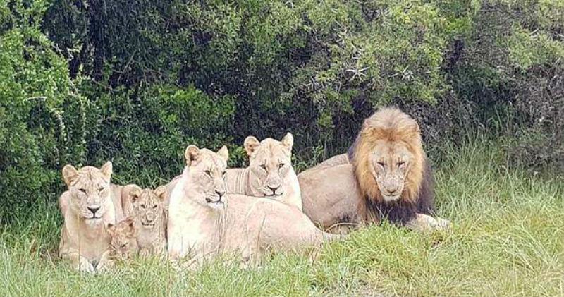 Осталась только голова и обувь: в ЮАР львы сожрали браконьеров, охотившихся на носорогов
