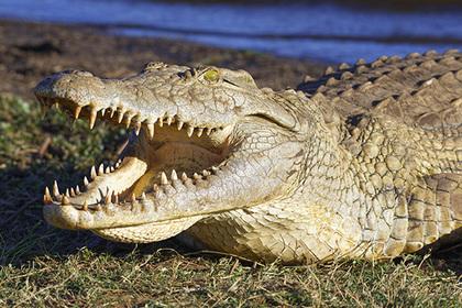 Австралийские крокодилы пере…