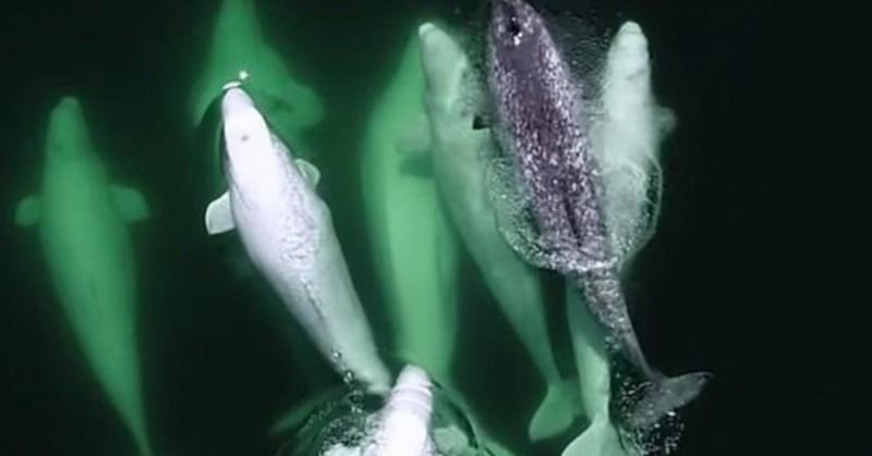 Стая китов-белух приютила осиротевшего нарвала
