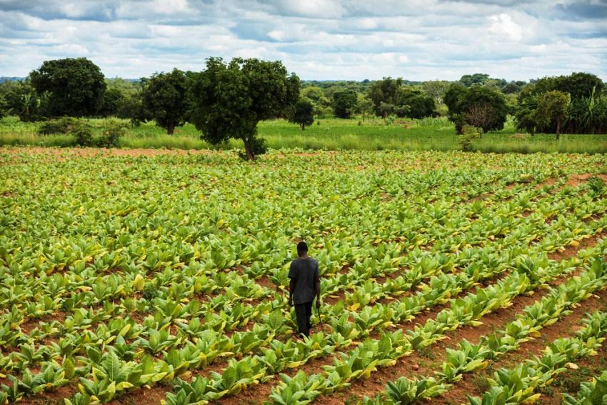 Табачные фермы в Малави
