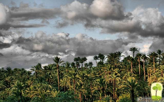 Чарующий пальмовый лес Эльче в Испании - 7