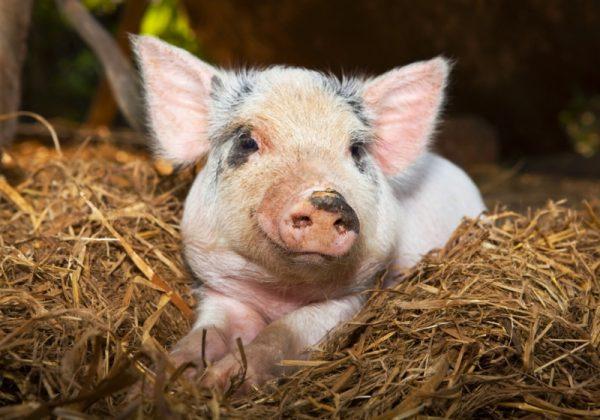 Много ли пользы от свиного навоза