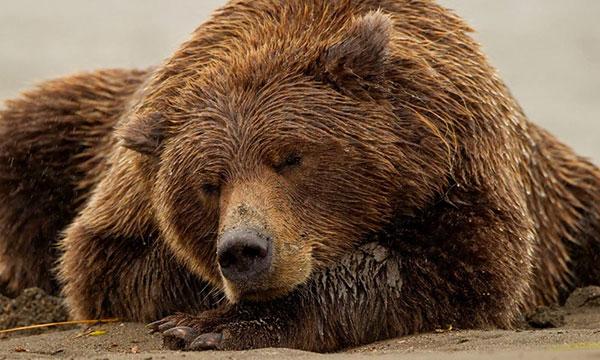 Как спят медведи
