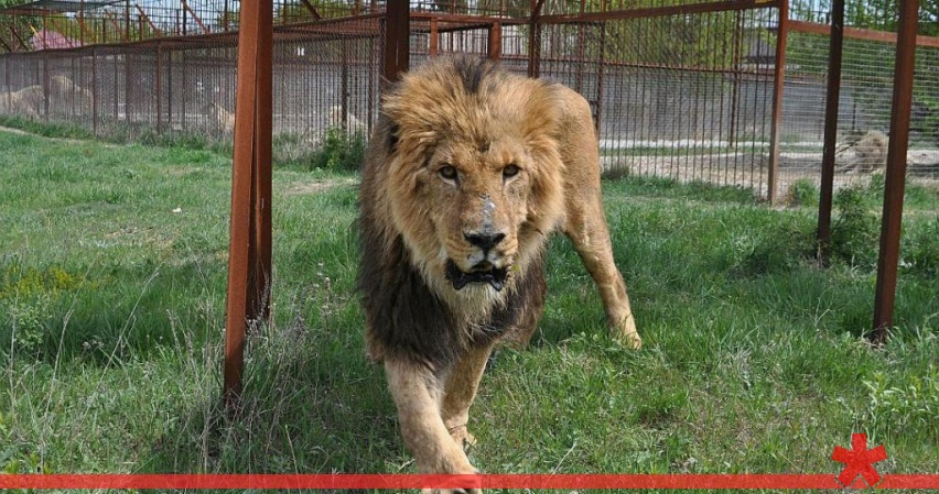 В крымском парке львов «Тайган» лев укусил туристку