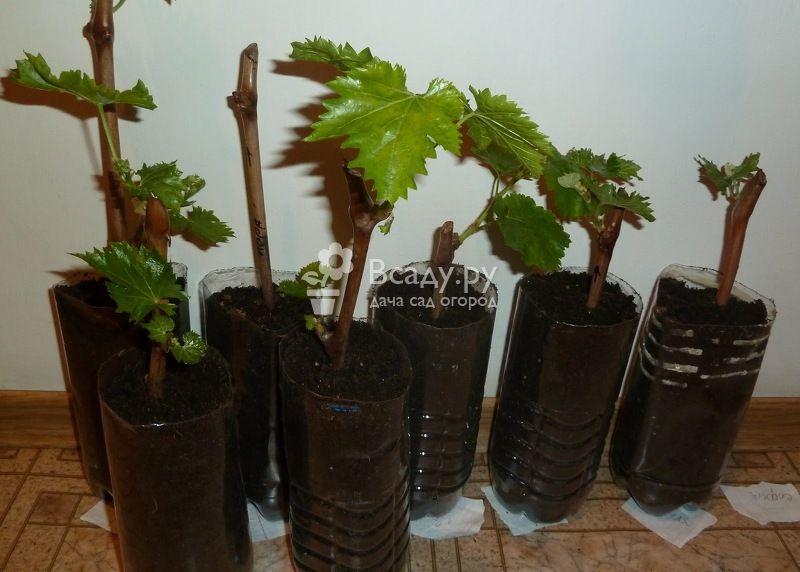 Выращивание винограда в домашних условиях 690