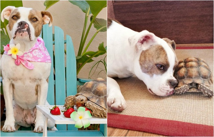 «Неразлучные друзья»: 12 неожиданных фото о крепкой дружбе собаки и черепахи