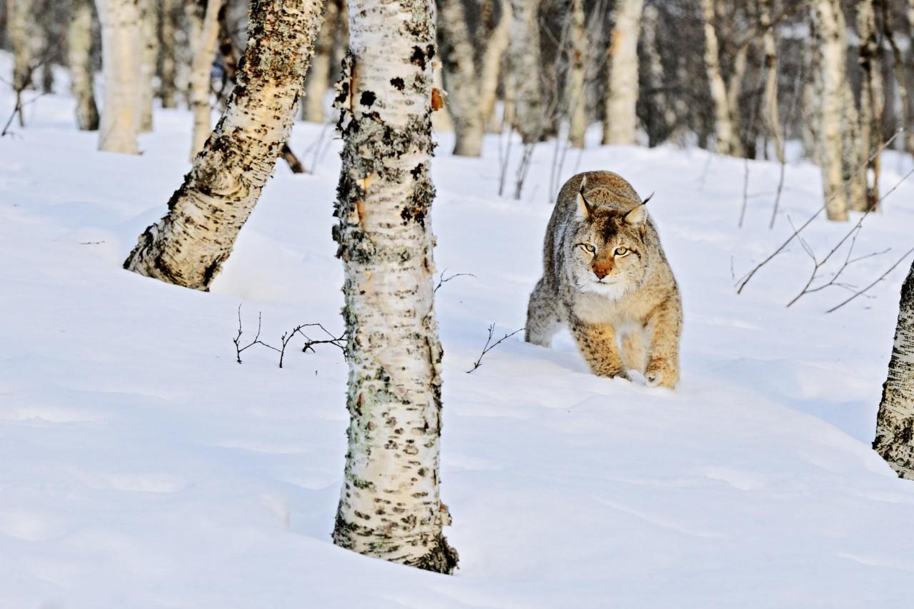 1280x1024 природа, снег, березы, рысь, зима, стволы, дикая, роща, кошка, сугробы, лес картинки на рабочий стол обои фото скачать
