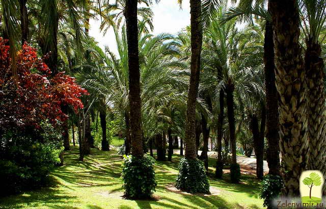 Чарующий пальмовый лес Эльче в Испании - 4
