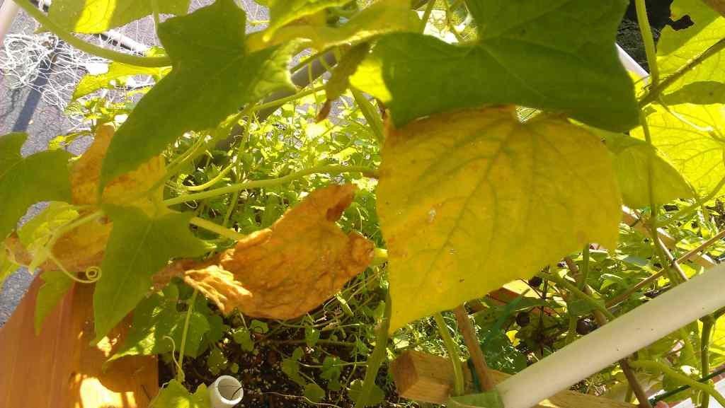 Пожелтение листьев огурца