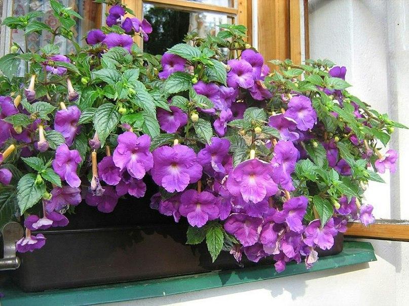 Ахименес: выращиваем на балконе.
