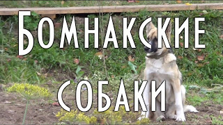 Бомнакские охотничьи собаки