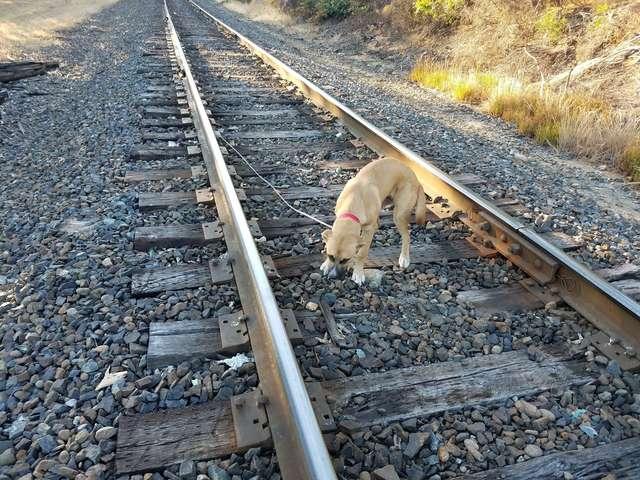 «Я не виноват, что расту!» Кто-то привязал к рельсам большого щенка и оставил ждать поезда…