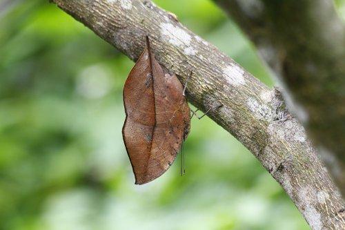 Царица камуфляжа: бабочка-листовидка