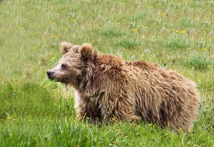 В выводах, опубликованных в Proceedings of the Royal Society, говорится, что именно медведи могут лежать в основе мифов о «Снежном человеке» - гигантском обезьяноподобном существе анализ, днк, йети, медведь, наука, новости, тайна, ученные