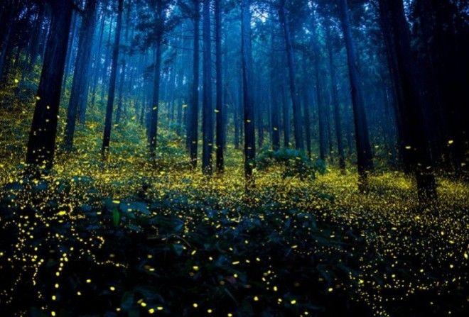 Миллионы светлячков в лесах Японии