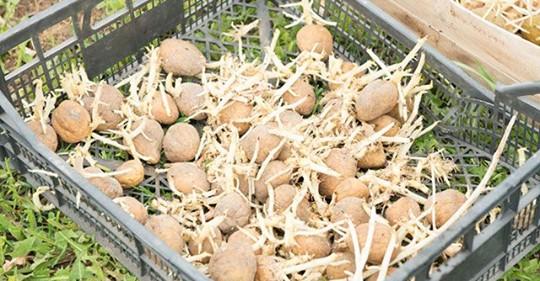 Сажать ли раньше картошку из-за теплой и ранней весны?