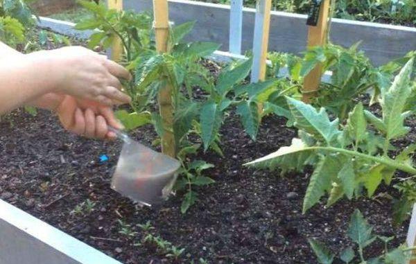Простое народное средство, чтобы помидоры быстро росли и хорошо плодоносили