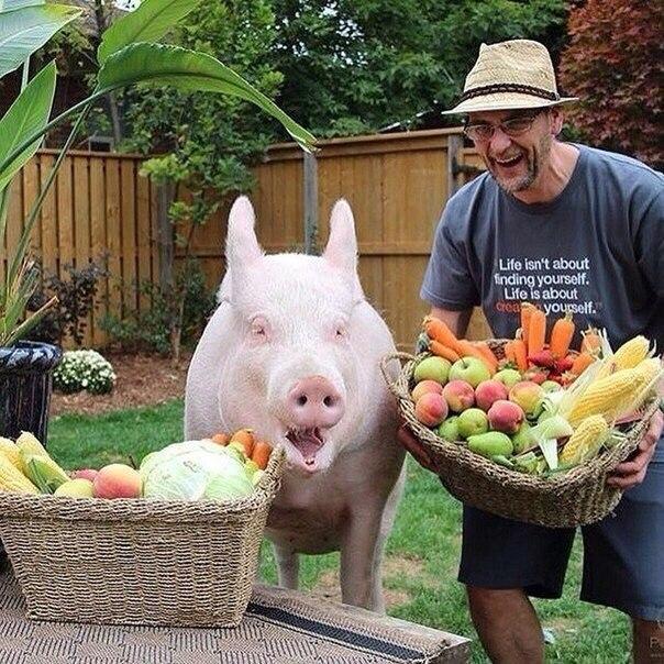 Знакомьтесь, это - Эстер. Свинья, которая живет в доме. 227 килограмм умиления