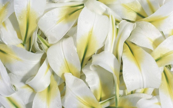 Beautiful-White-Flowers-Pictures-And-Wallpapers40