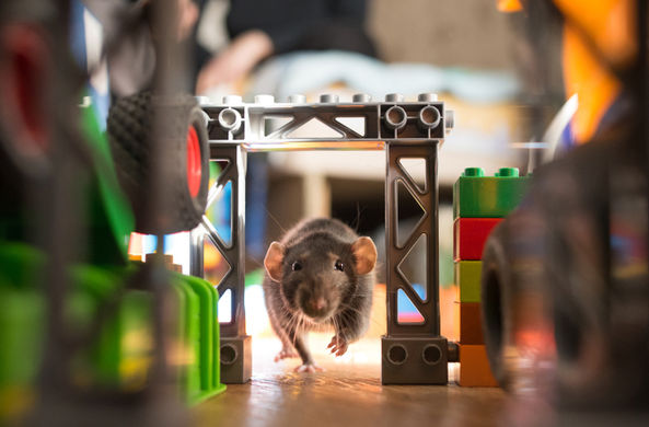 У животных обнаружили эпизодическую память