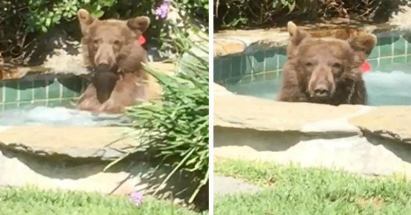 В Калифорнии медведь прогнал хозяев дома, залез в джакузи и выпил их «Маргариту»