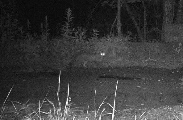 Лесной кот впервые за 90 лет попался в объектив фотоловушки