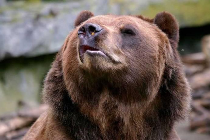 В Пыть-Яхе медведь отомстил охотнику, разодрав его автомобиль (+видео)