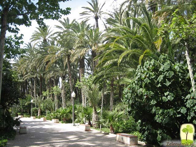 Чарующий пальмовый лес Эльче в Испании - 6