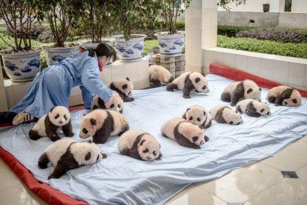 Как выращивают панд в провин…