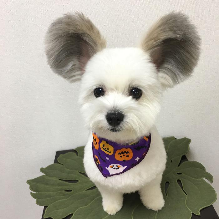 У этой японской собачки просто невероятные пушистые уши