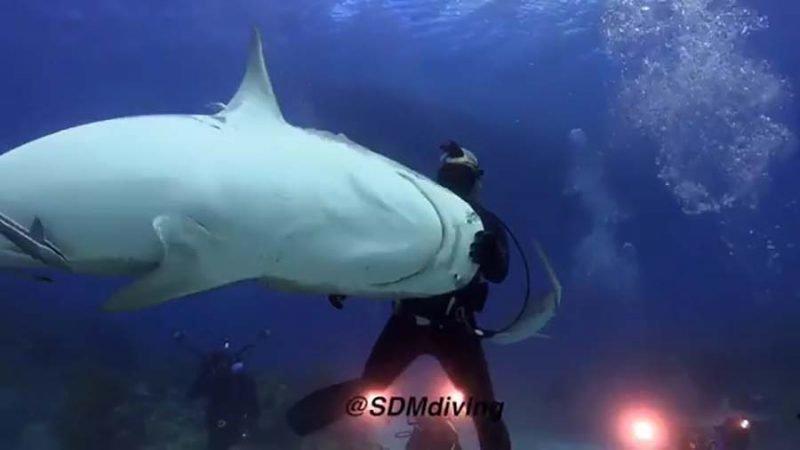 Дайвер «танцует» вместе со своей подругой — 300-килограммовой тигровой акулой